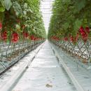 Выращивание томатов в промышленных теплицах